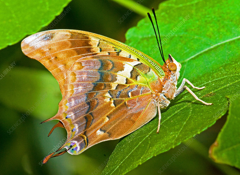 Green-veined Charaxes Butterfly