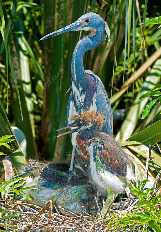 Tricolor Heron Adult With Nestlings