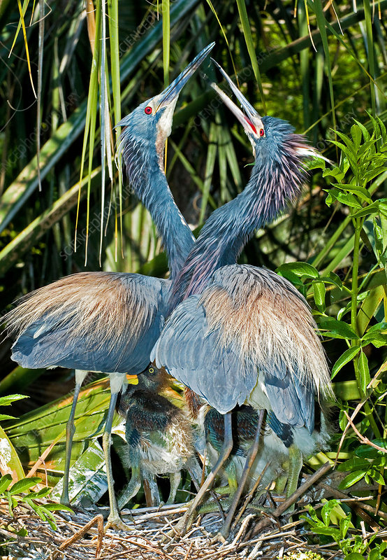 Tricolor Heron Male And Female Courtship