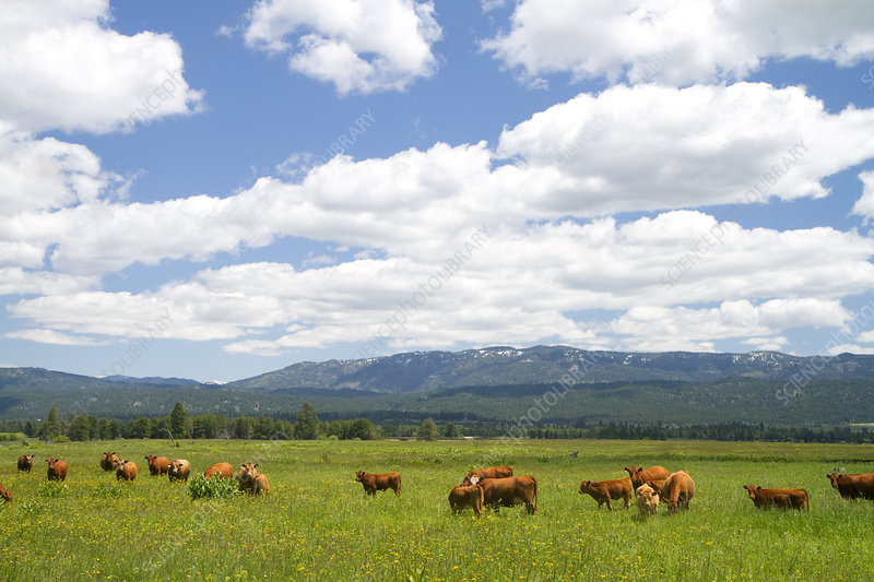 Cattle Grazing, Idaho, USA