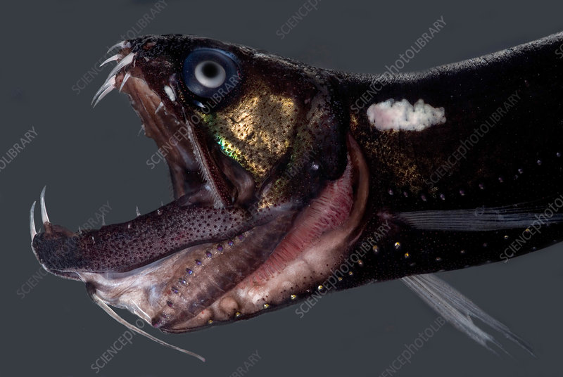 Dragonfish Mouth