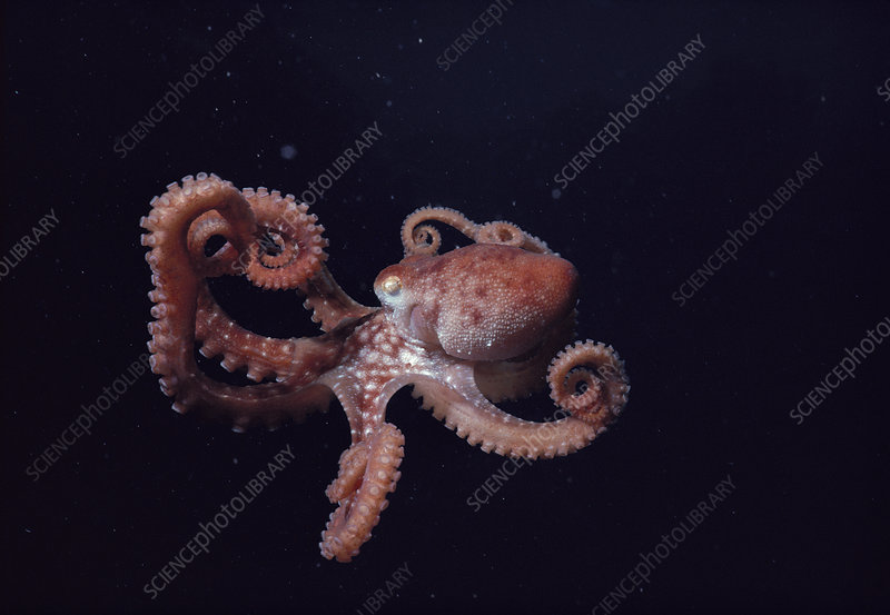 Long-armed octopus