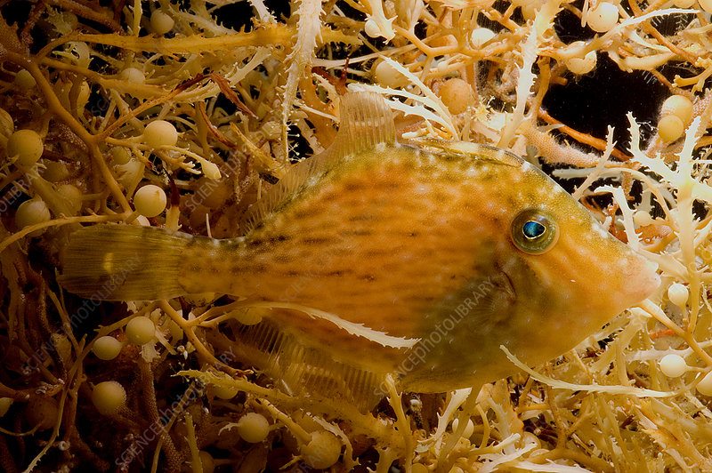 Sargassum Filefish