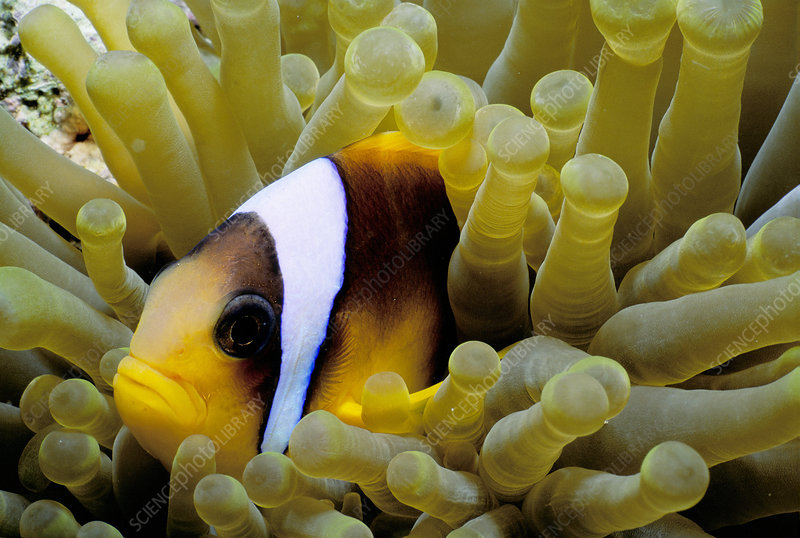 Clownfish in Anemone