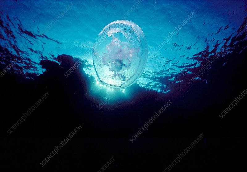Moon Jellyfish, Red Sea