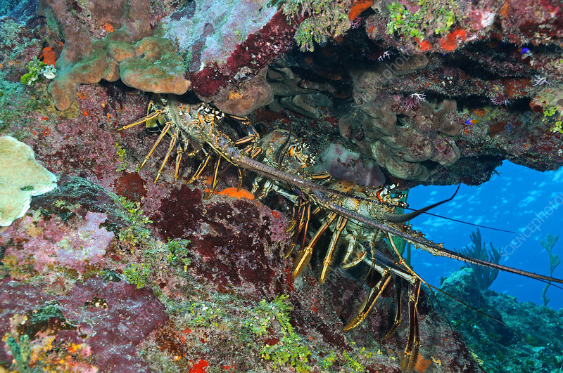 Caribbean Spiny Lobsters