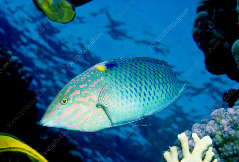 Checkerboard Wrasse, Red Sea