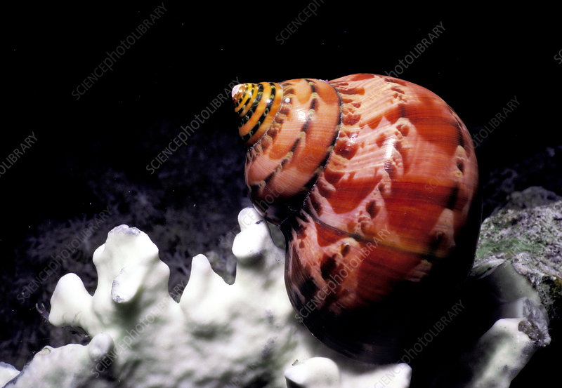 Tapestry Turban Snail, Red Sea