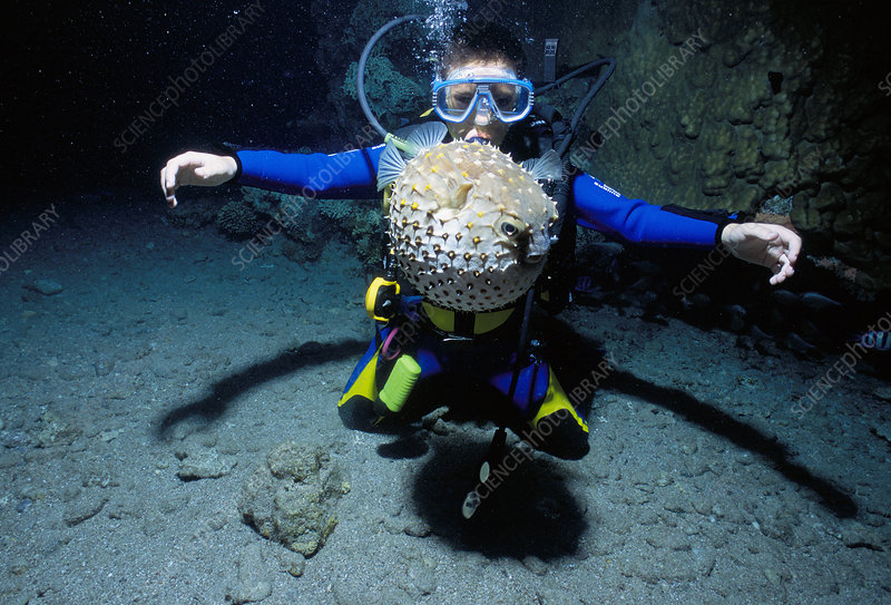 Child watches pufferfish, Red Sea