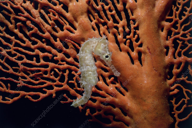 Spiny Sea Horse on Gorgonian Coral