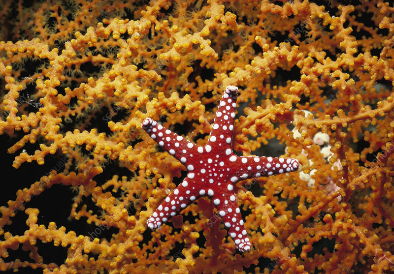 Starfish feeding on coral in the Red Sea