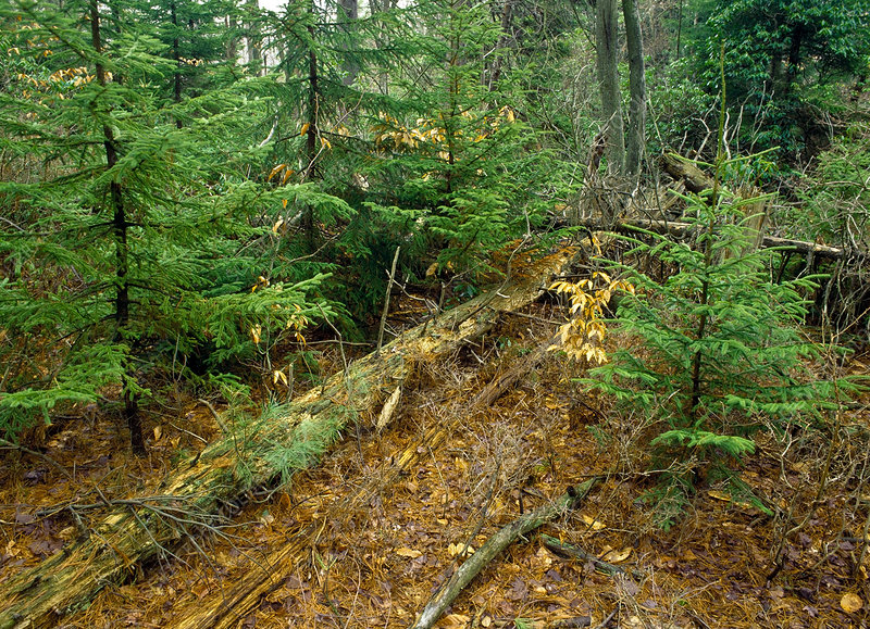 Red Spruce Forest - Stock Image C017/5578 - Science Photo ...