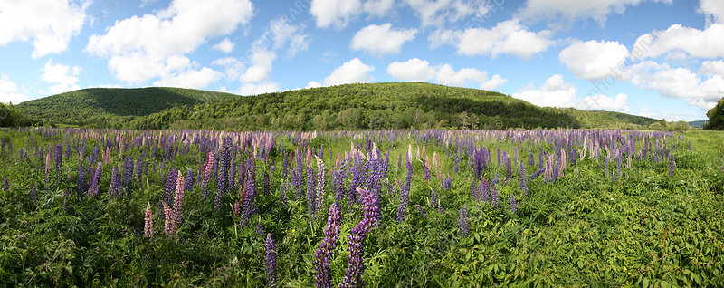 A field of lupines