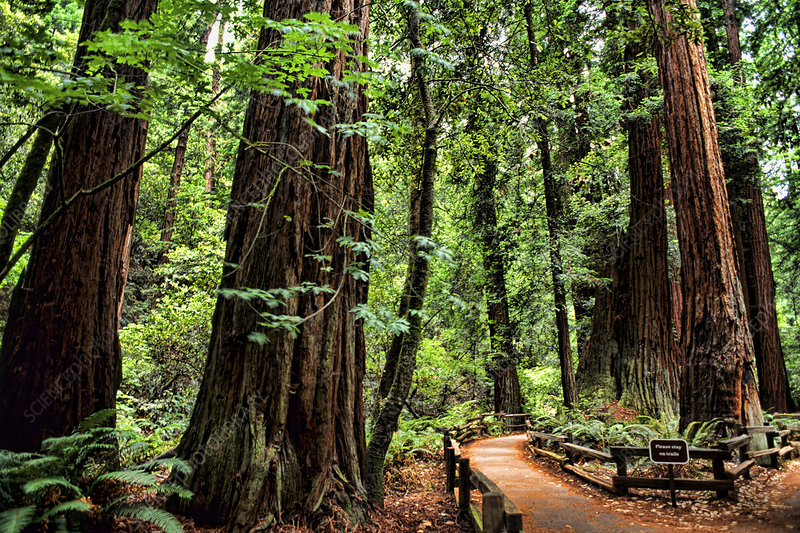 Redwood Trees, Muir Woods, San Francisco