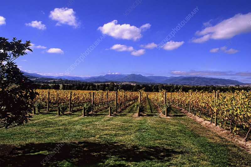 Chandon Vineyards, Victoria, Australia