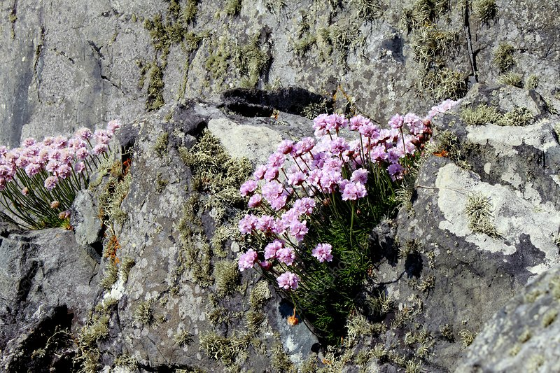 Sea Thrift (Armeria sp.)