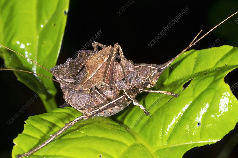 Leaf mimic katydids