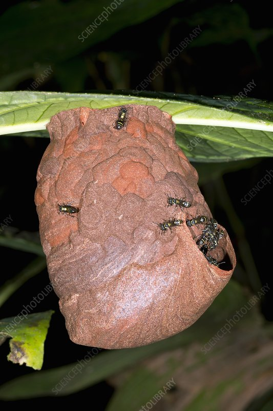 Tropical wasp's nest