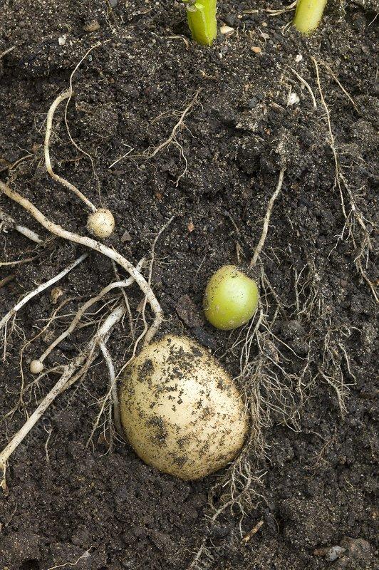 Developing potato tubers