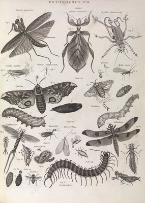 Insect illustrations, 1823