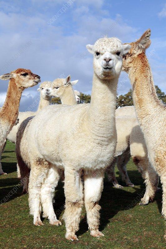 Alpacas on a farm stock image c017 8107 science photo for Alpacas view farm cuisine