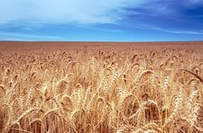 Wheat field, South Africa