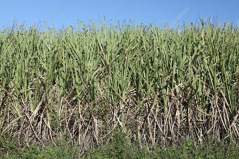 Sugar cane field, South Africa
