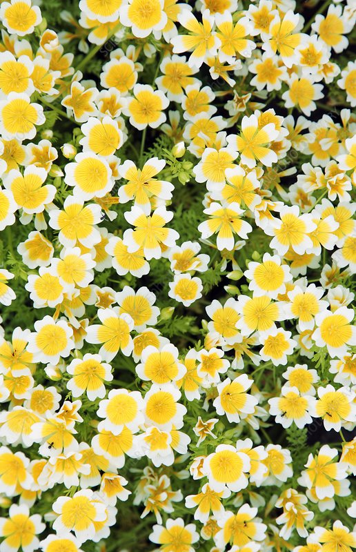 Poached egg plant (Limnanthes douglasii)