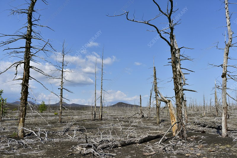 Trees killed by volcanic eruption, Russia