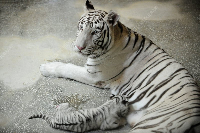 White tiger mother and cub