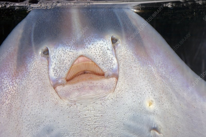 Thornback ray mouth