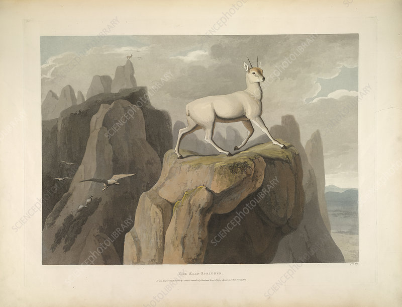 The Klipspringer