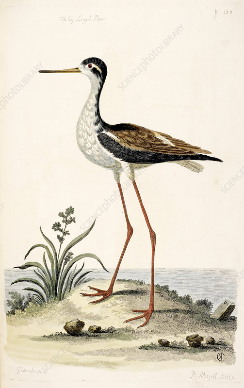 The long legged Plover