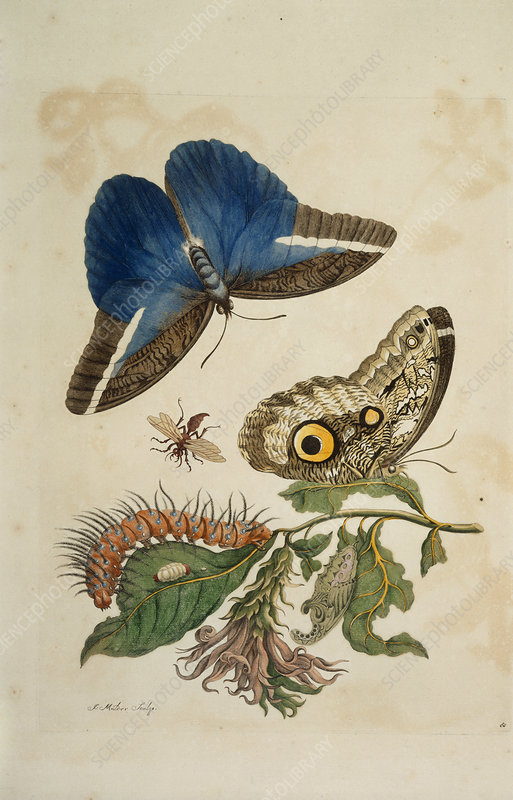 Butterflies and caterpillar