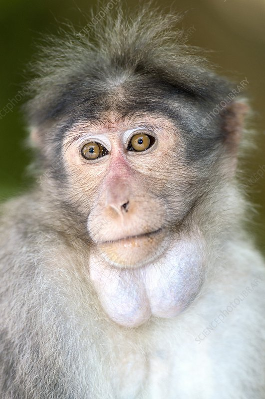 Bonnet macaque with full cheek pouches