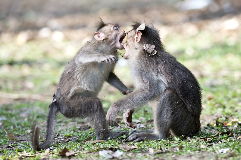 Bonnet macaques play-fighting