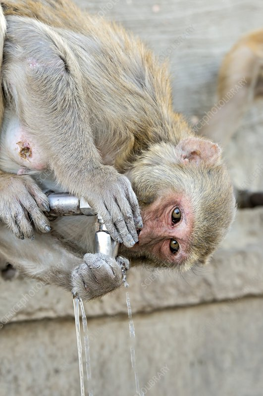 Rhesus monkey drinking water from a tap