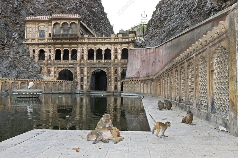 Rhesus monkeys at an Indian temple