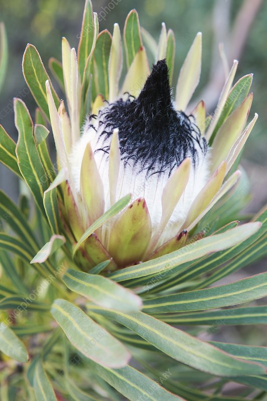 Long-leaf sugarbush (Protea longifolia)