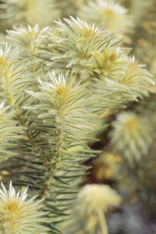 Feather bush (Phylica pubescens)