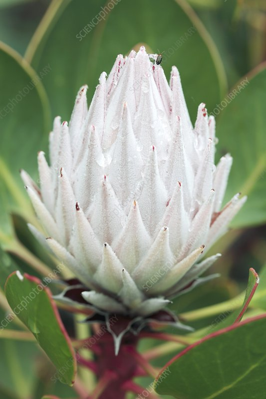 King protea (Protea cynaroides) in flower