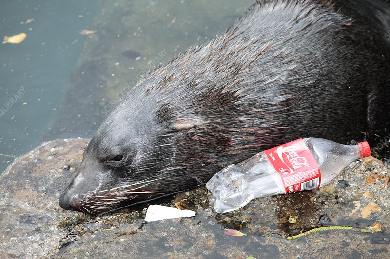 Cape fur seal in polluted water