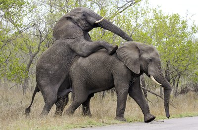 African elephants mating