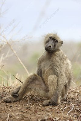 Chacma baboon sleeping