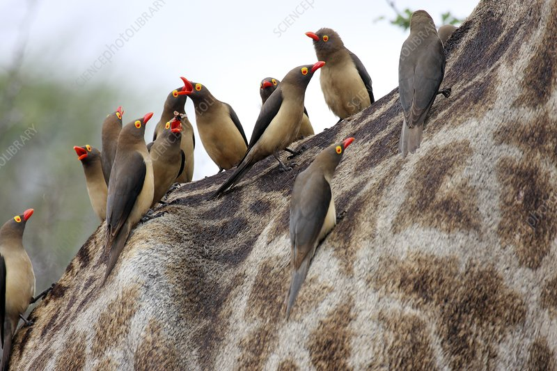 Redbilled oxpeckers on a giraffe