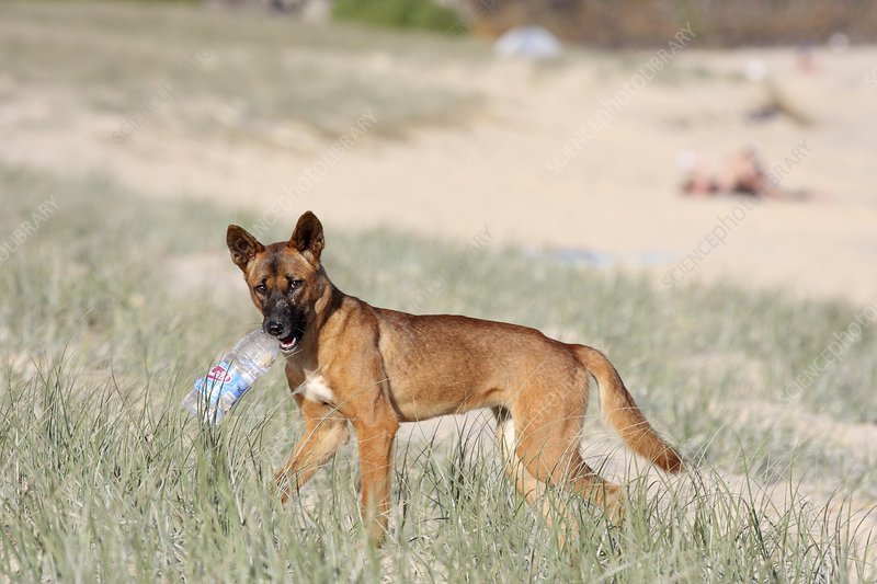 Dingo with a bottle