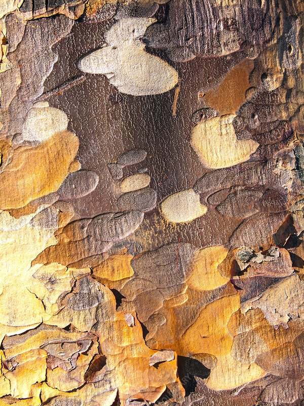 Trunk of the paperbark maple