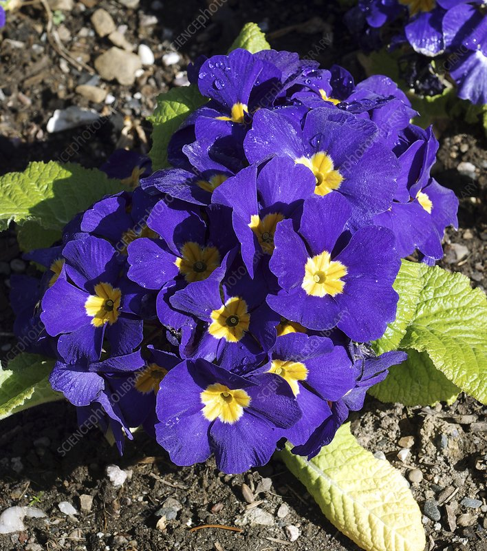 Primula 'Crescendo Blue Shades'