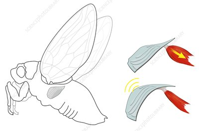 Cicada noise mechanism, diagram