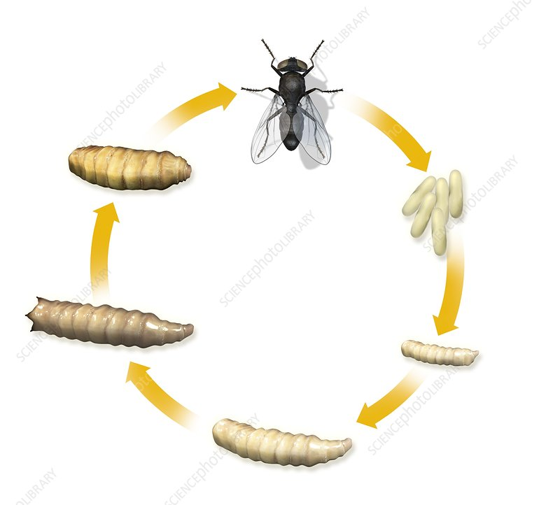 Fly life cycle, artwork